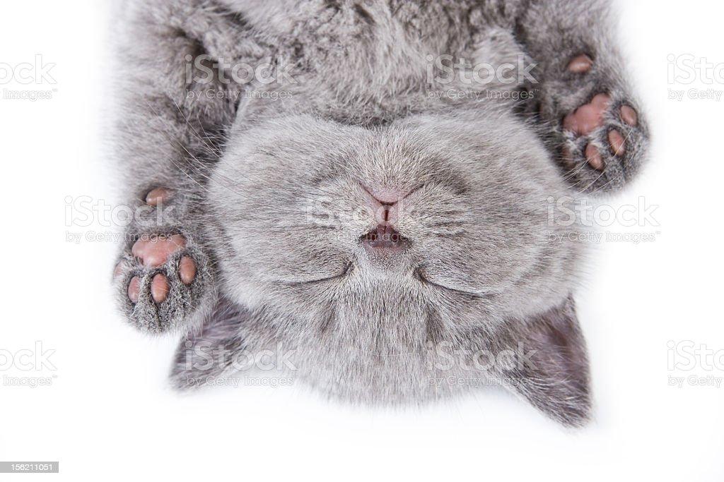 Upside down sleeping British kitten on a white background stock photo