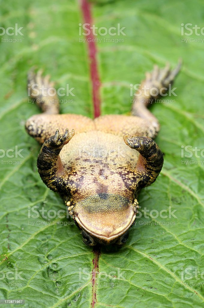 Upside down toad stock photo