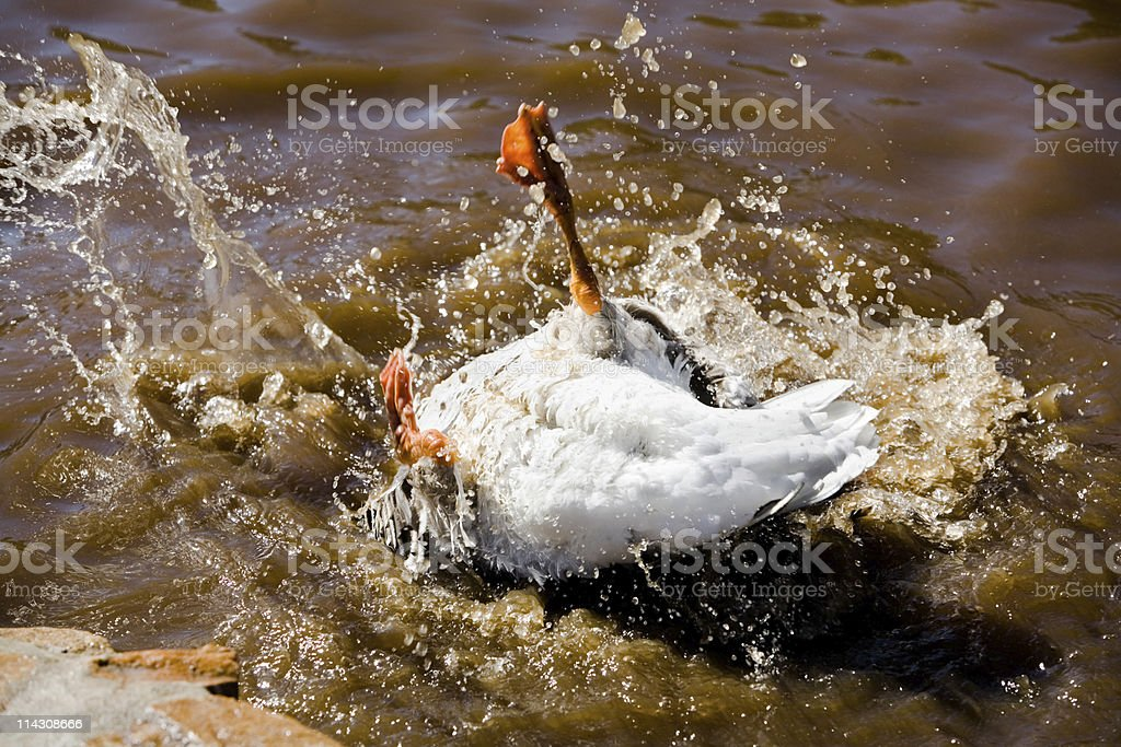 Upside-down goose stock photo