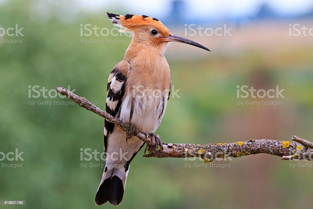 Upupa epops sitting on a dry branch stock photo