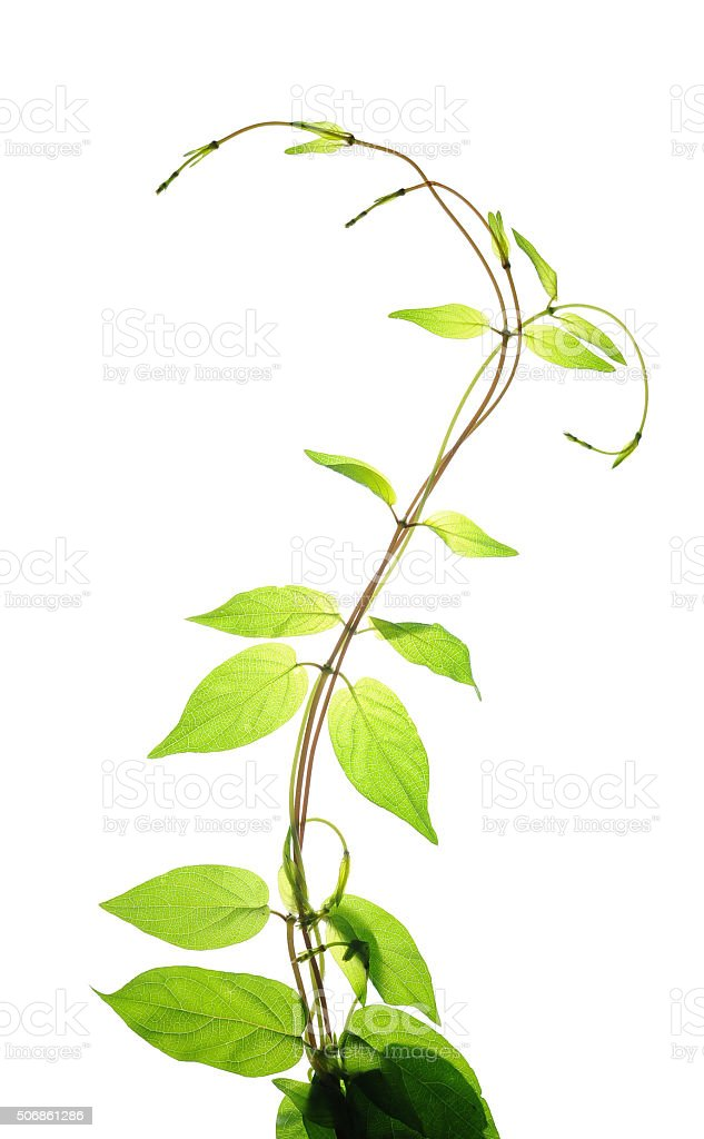 Upward growth climbing plants in spring stock photo