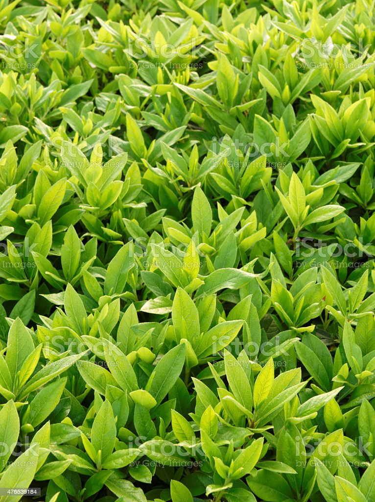 Upward growth green plant in spring stock photo