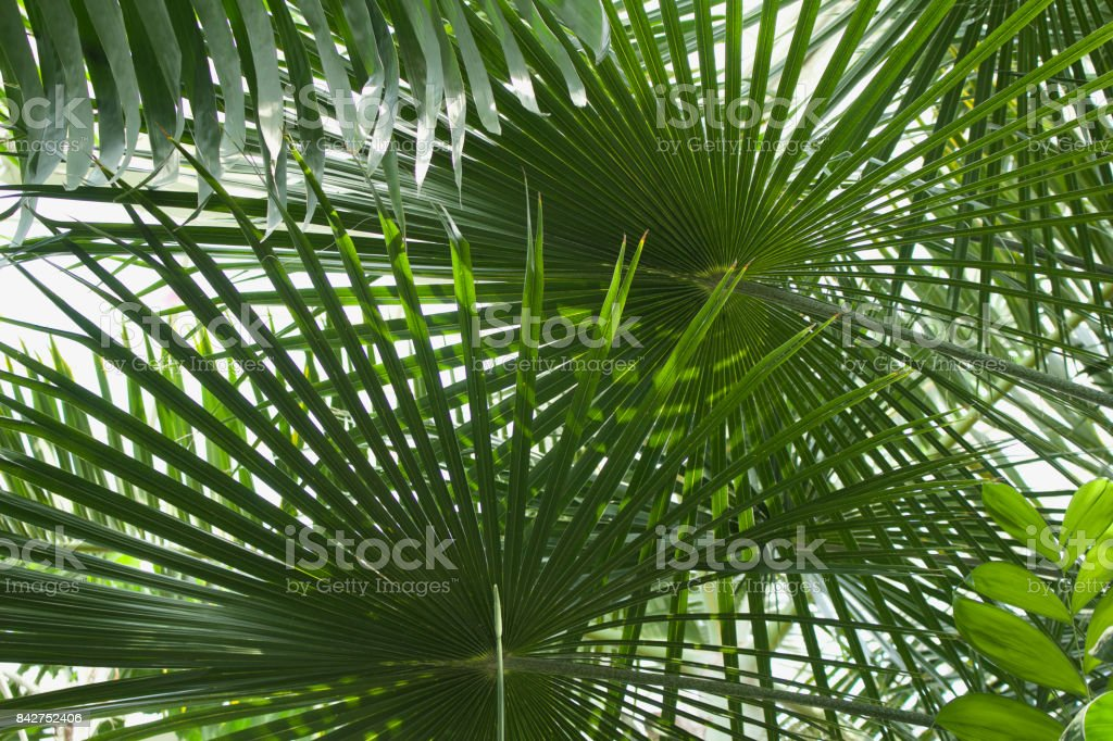 Upward View of Ribbon Fan Palm Trees stock photo