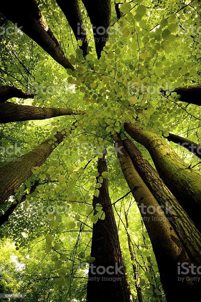 Upward view of tall beech trees in forest royalty-free stock photo