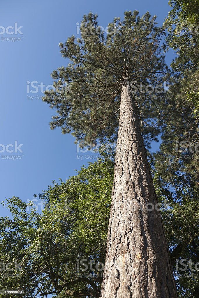 Upward view to the branches of a pine tree royalty-free stock photo