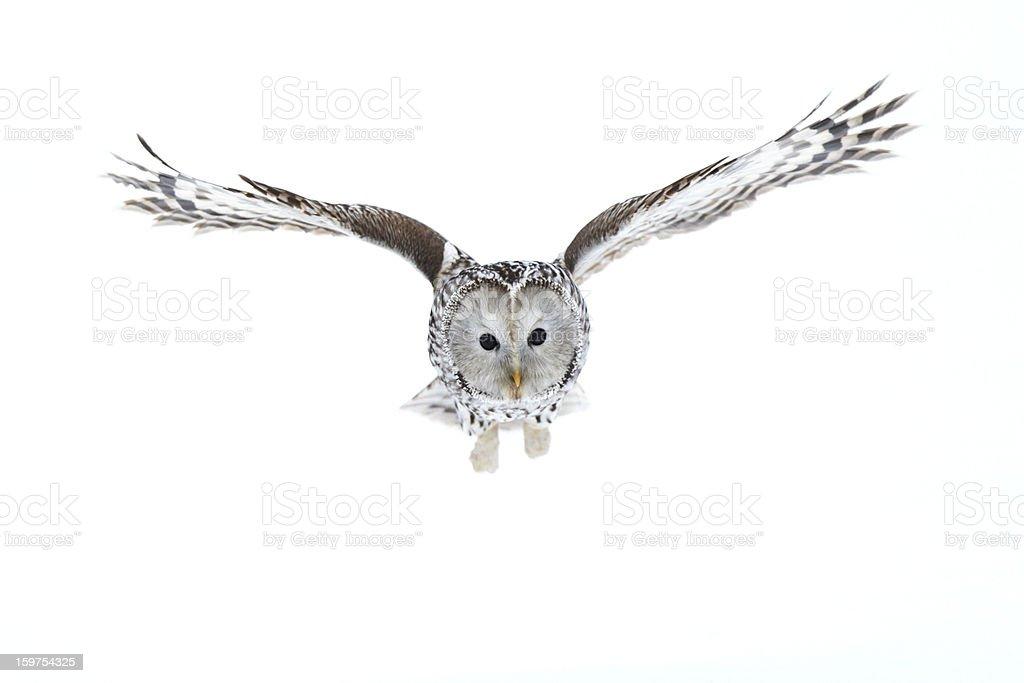 Ural Owl royalty-free stock photo