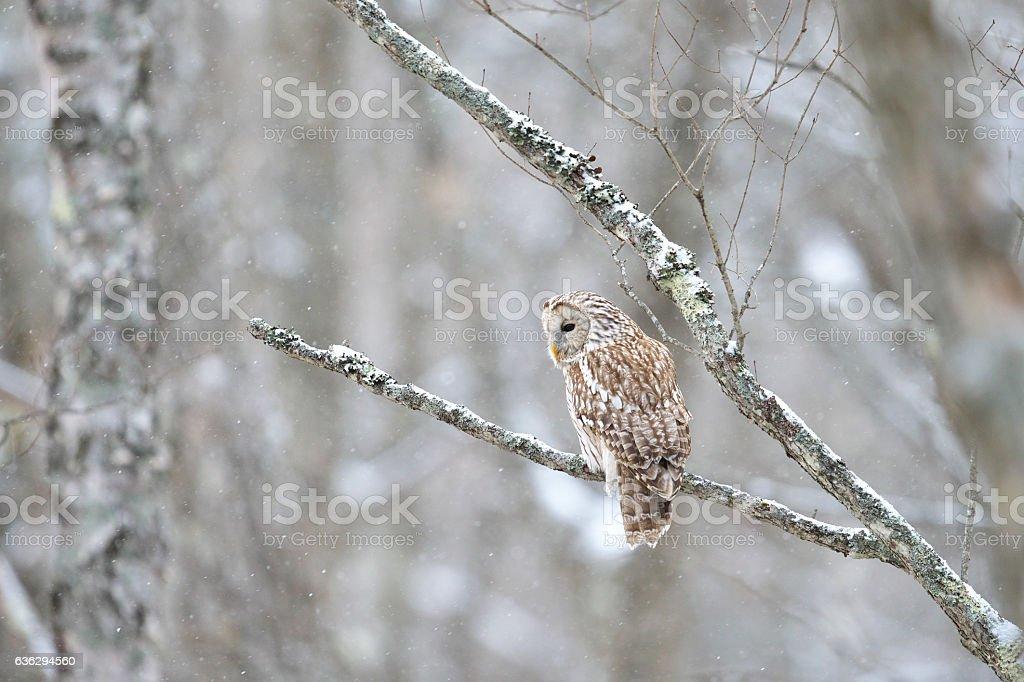 Ural owl(Strix uralensis) stock photo