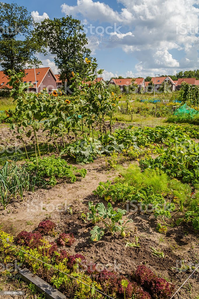 Urban agriculture: a vegetable garden beside modern houses in th stock photo