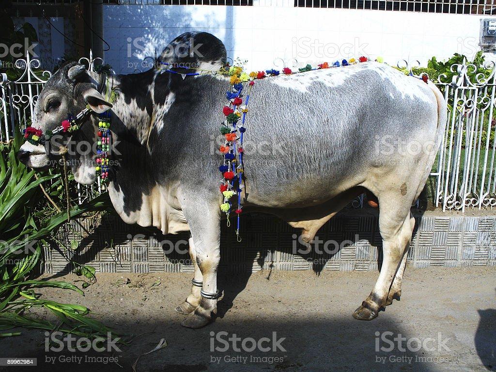 Urban Cows royalty-free stock photo