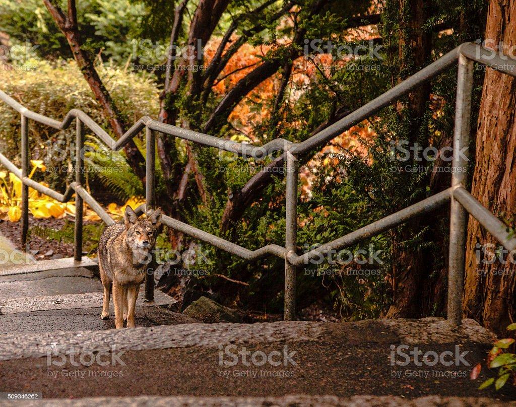 Urban Coyote stock photo