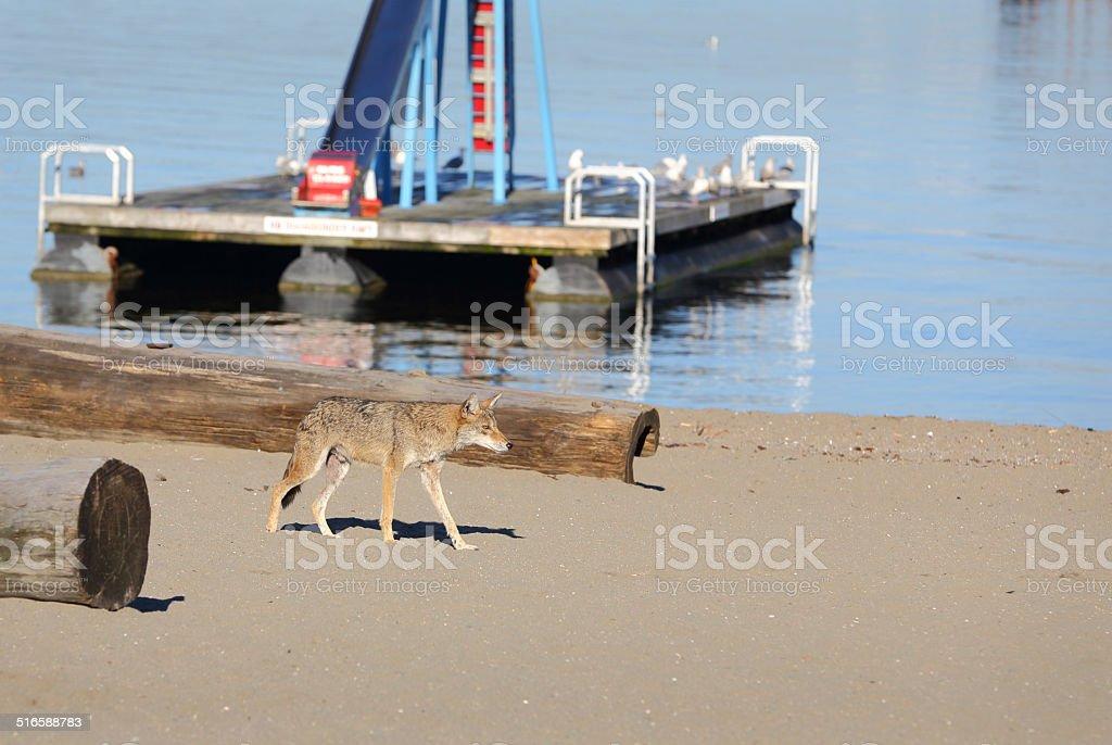 Urban Coyote Vancouver stock photo