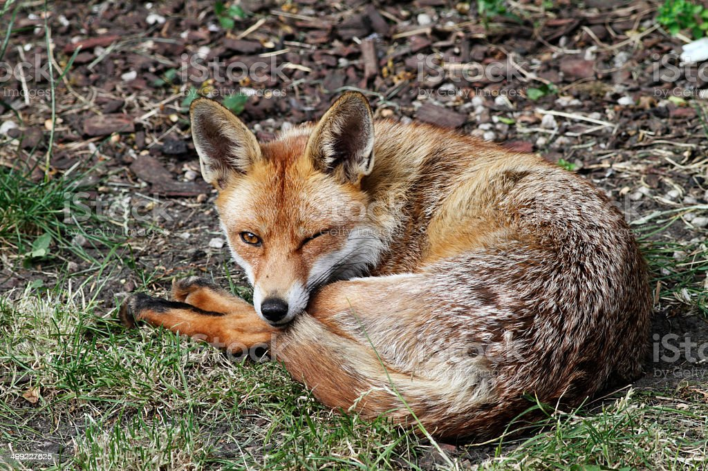 Urban fox winking in London garden stock photo