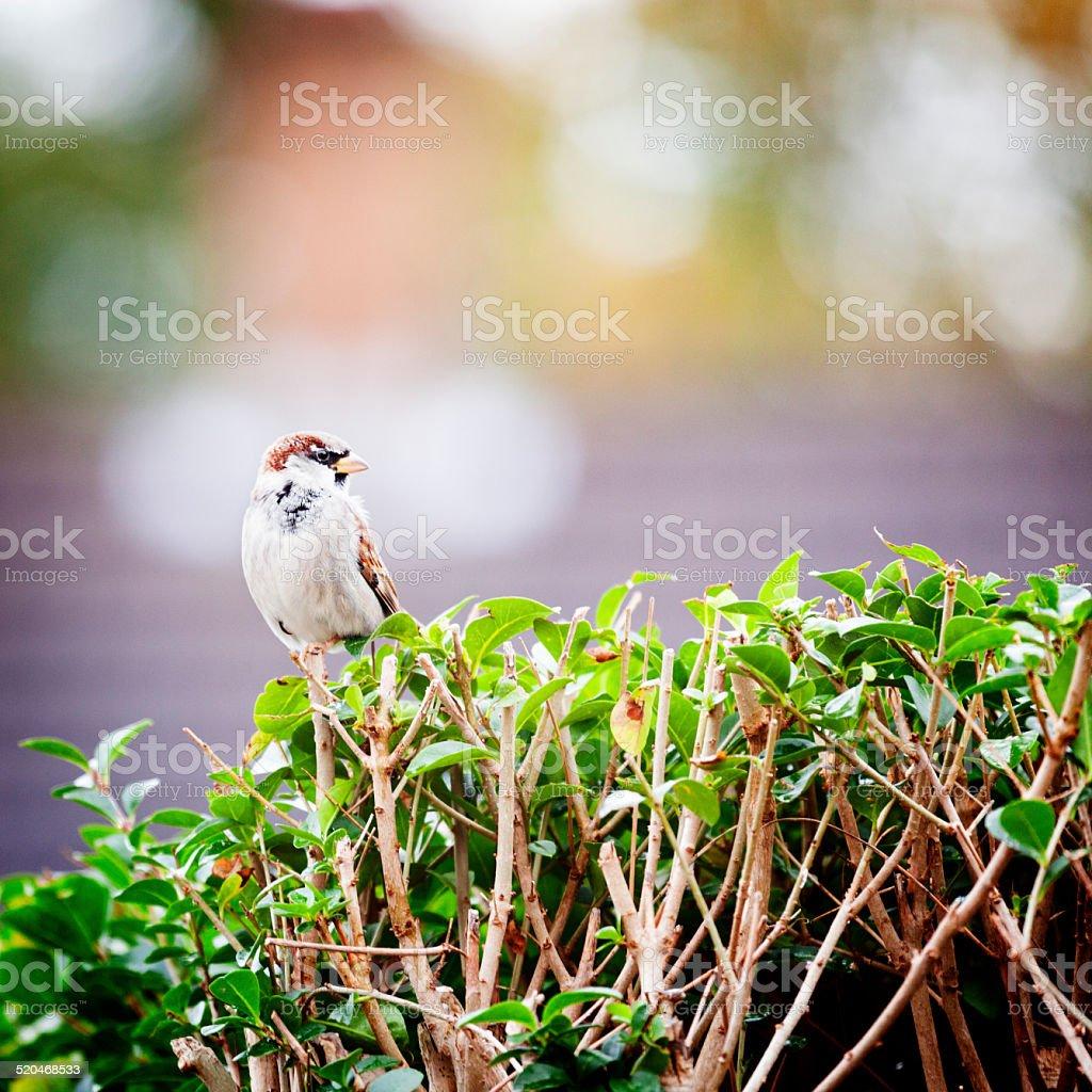 Urban Garden Sparrow stock photo