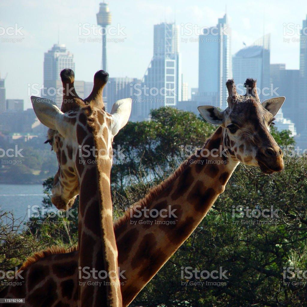 Urban Giraffe royalty-free stock photo