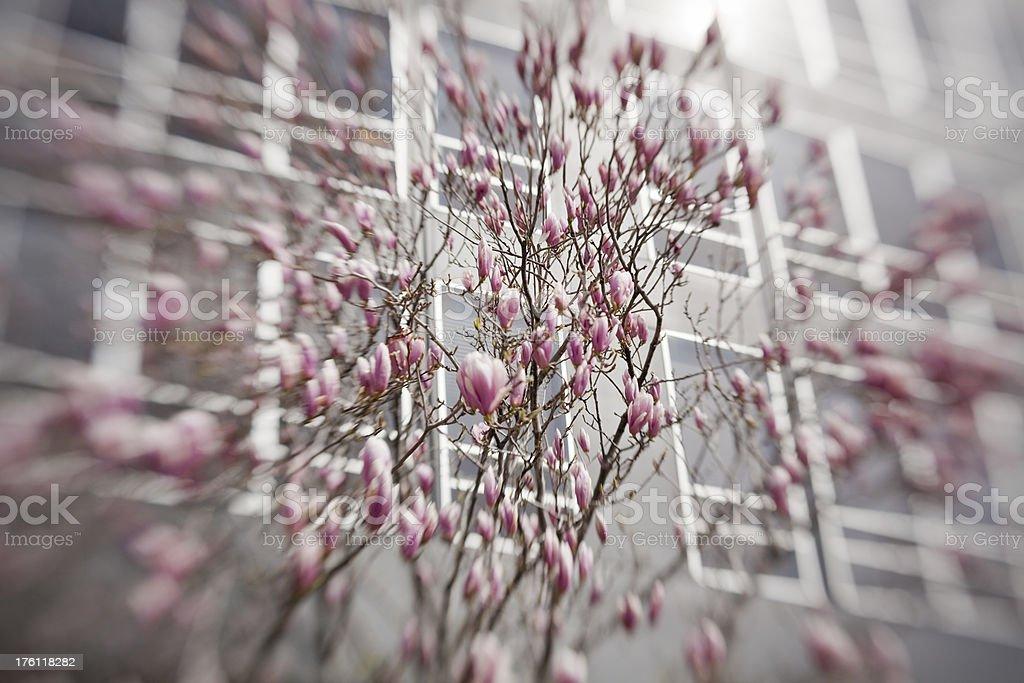 Urban Magnolia royalty-free stock photo