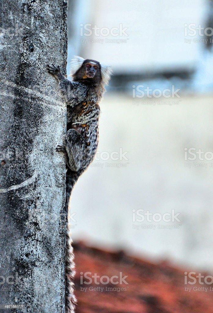 Urban monkey - Common marmoset royalty-free stock photo