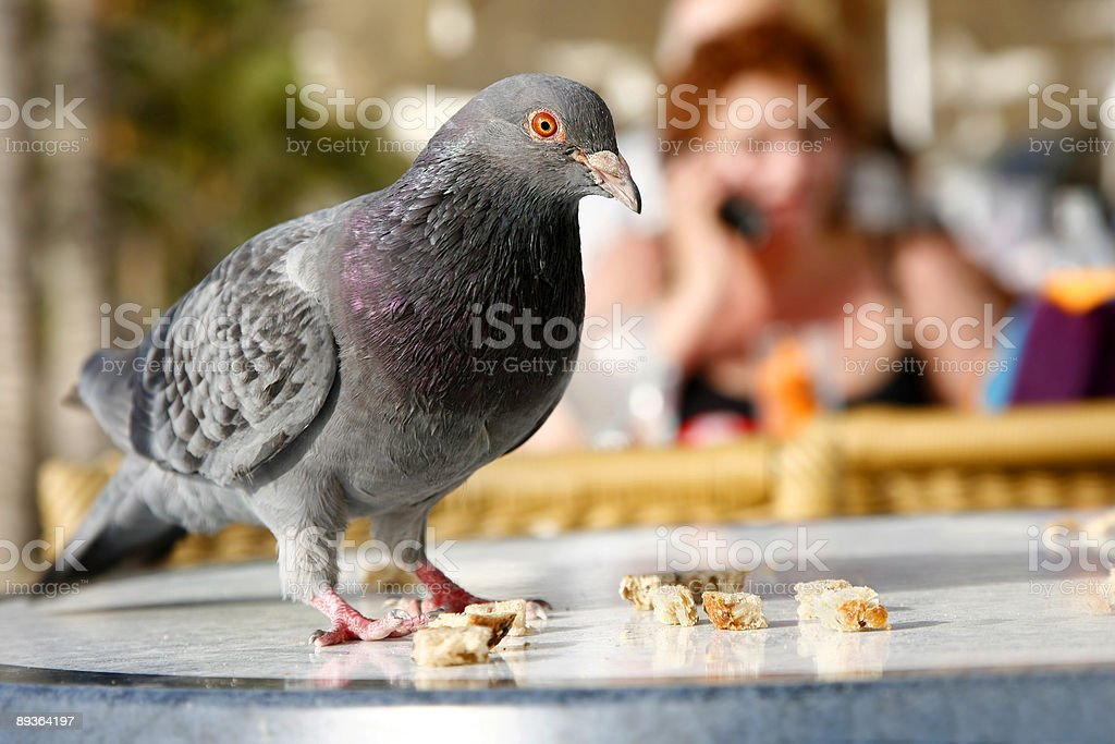 Urban Pigeon stock photo