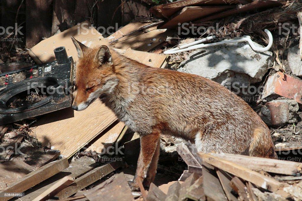 Urban red fox sitting in town garden debris stock photo