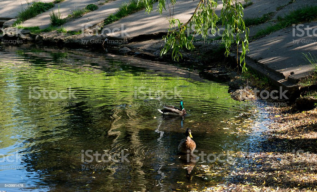 Urban small lake at summer sunny day with ducks stock photo