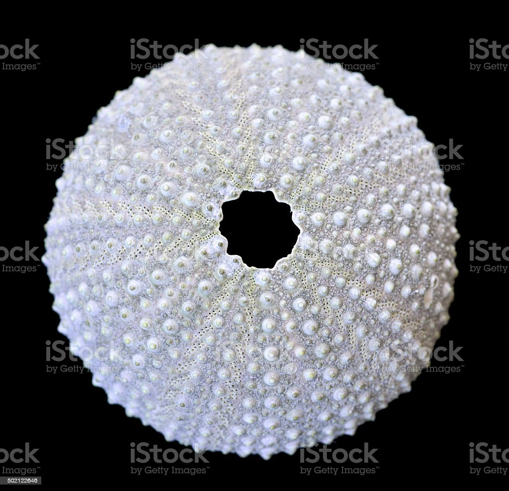 Urchin shell isolated on black stock photo