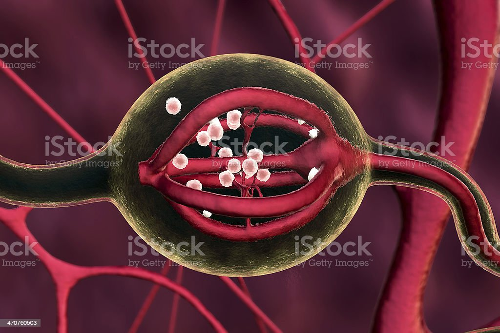 Urinary System stock photo