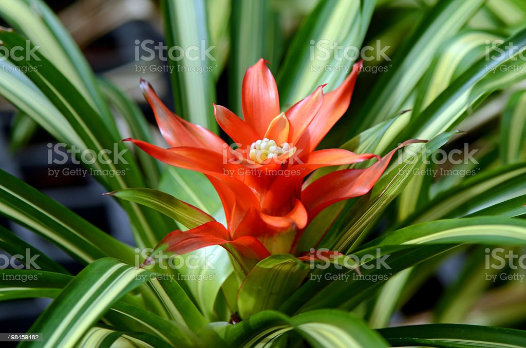 Urn Plant or Bromeliad. stock photo