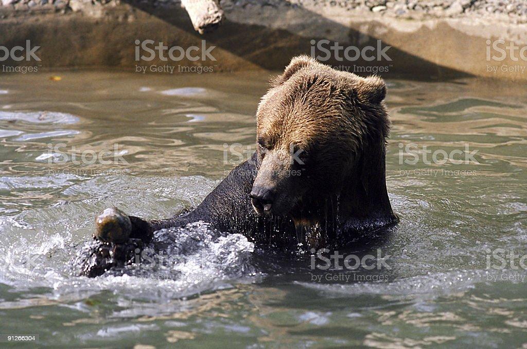 Ursus Aquaticus Sapiens stock photo