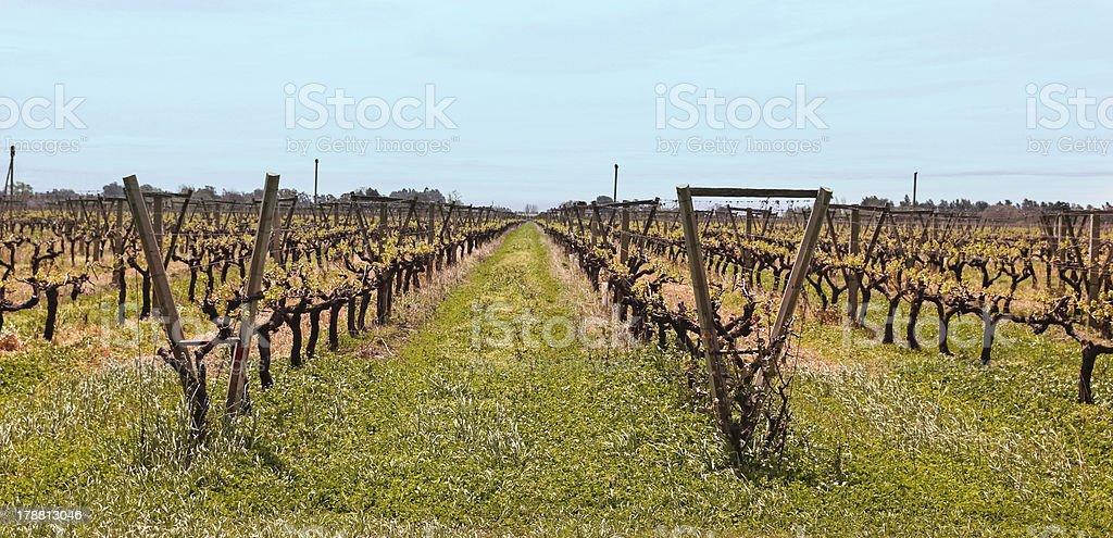 Uruguayan vineyards stock photo
