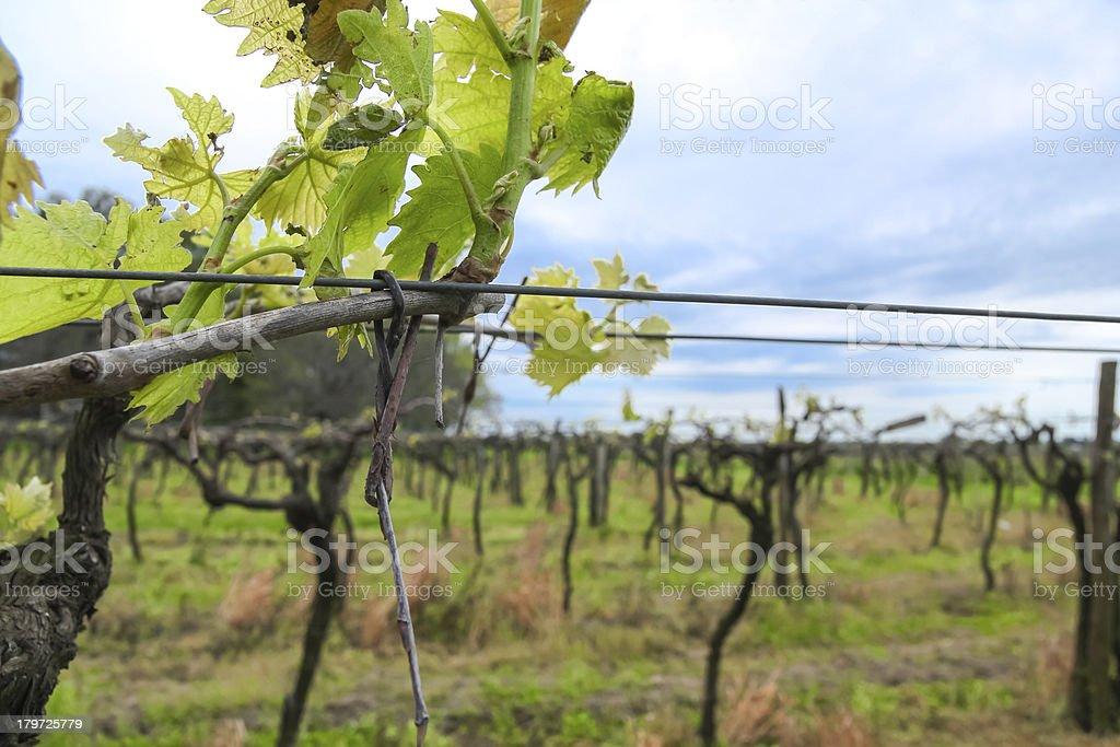 Uruguayan wine grapevines. stock photo
