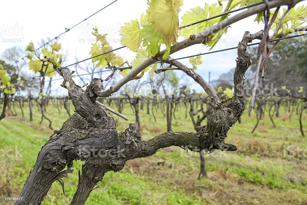 Uruguayan wine grapevines. royalty-free stock photo