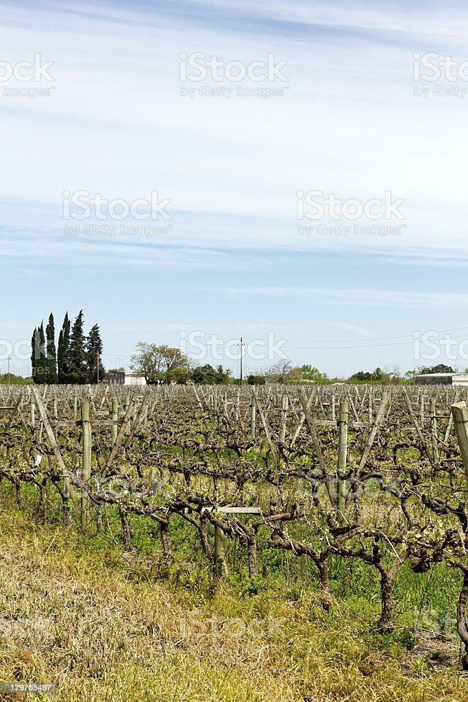 Uruguayan wine grapevines. royalty-free stock photo
