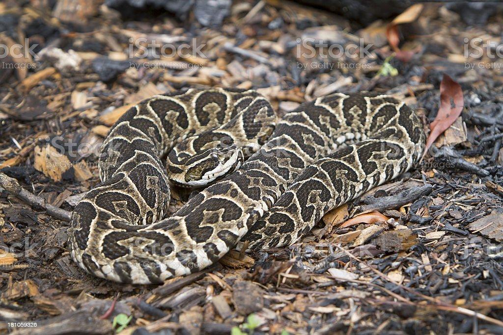Urutu Snake on Rainforest Floor royalty-free stock photo
