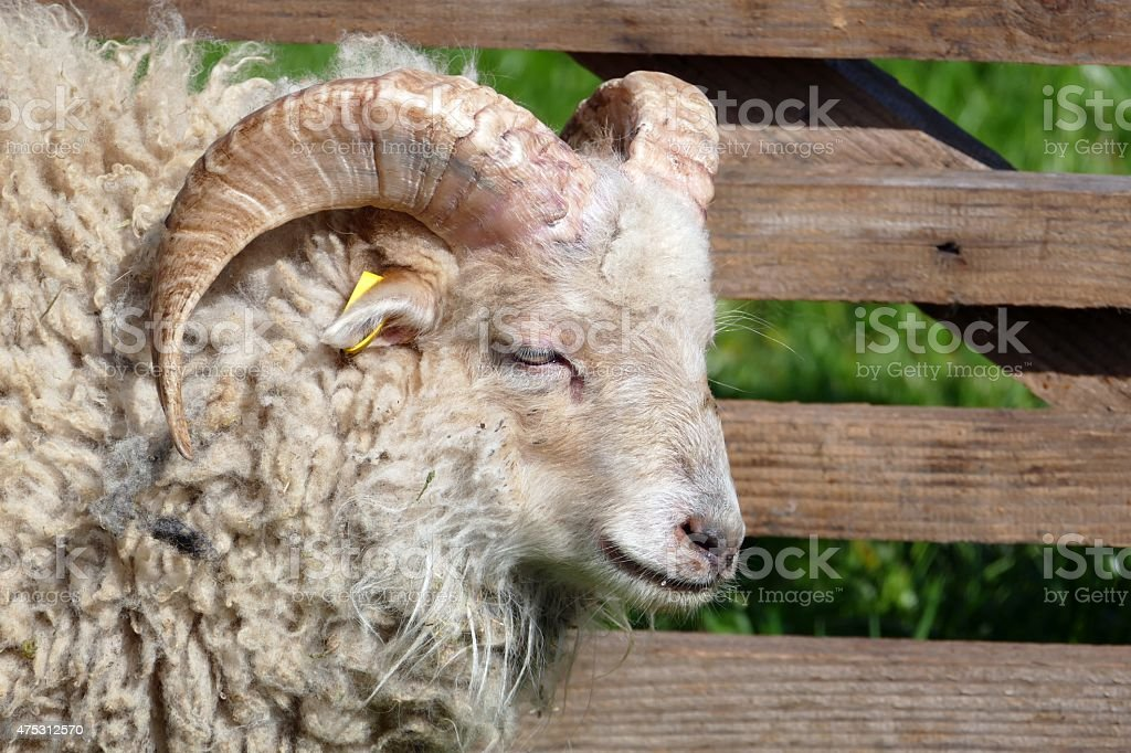 Ouessant sheep stock photo