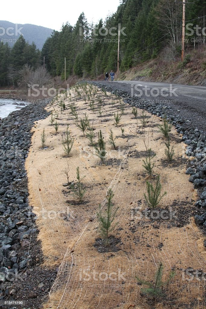 Using Young Trees As River Bank Restoration stock photo