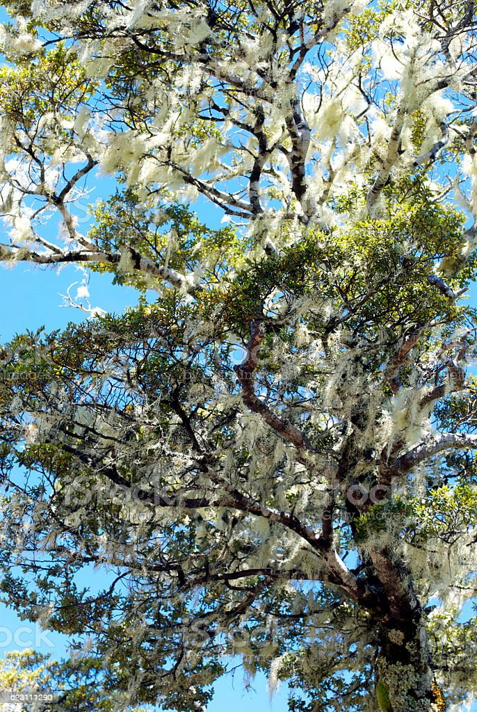Usnea Moss on Silver Beech Tree stock photo