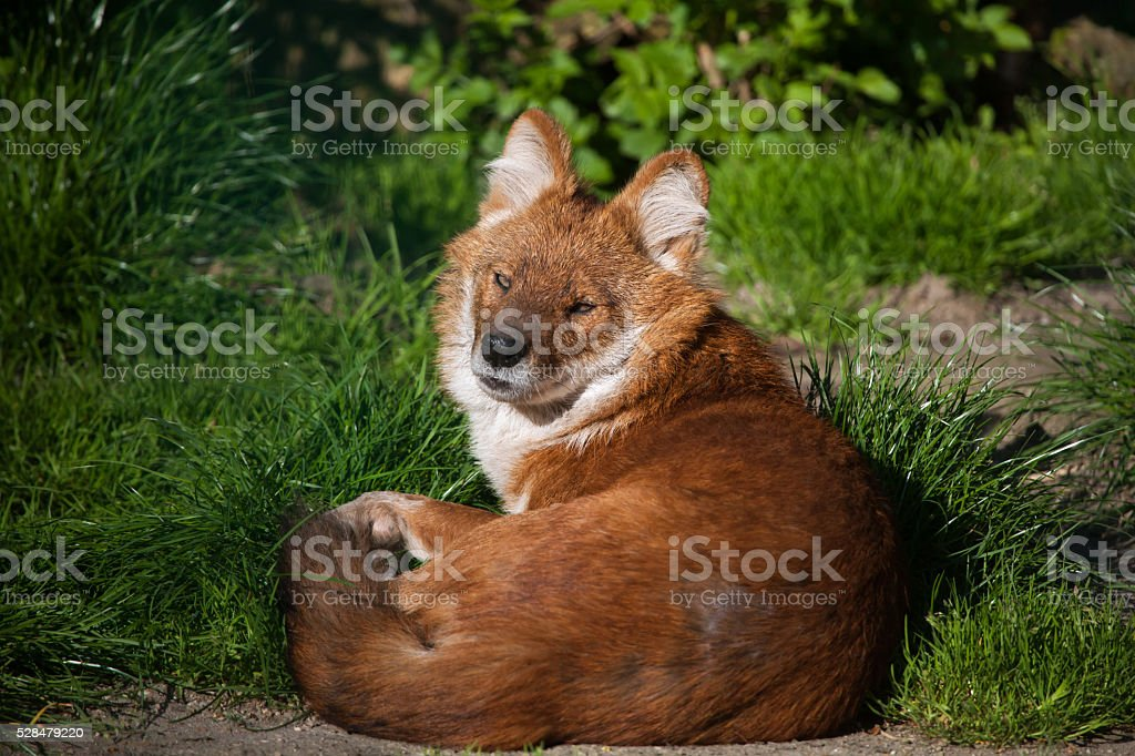 Ussuri dhole (Cuon alpinus alpinus). stock photo