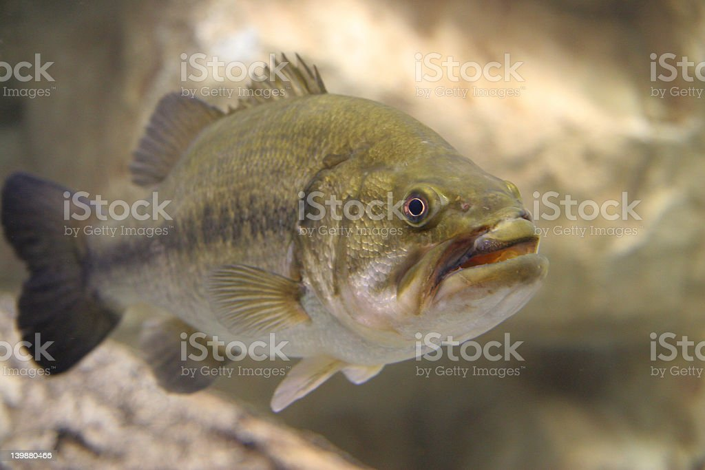 Utah Fresh Water Fish stock photo