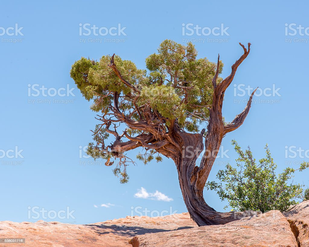 Utah Juniper, West Rim Trail, Dead Horse State Park, UT stock photo