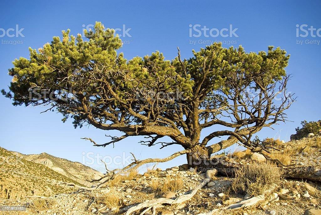 Utah Pinyon stock photo