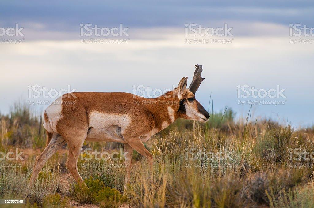 Utah Pronghorn American Antelope - Antilocapra americana stock photo