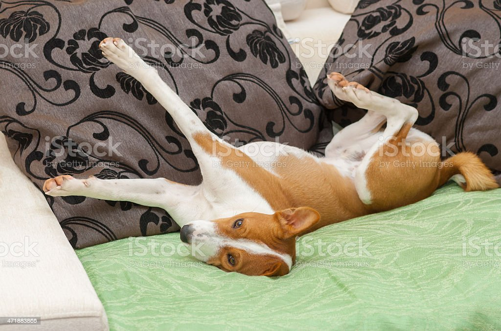 ?ute Basenji stretch itself after siesta time on the sofa stock photo