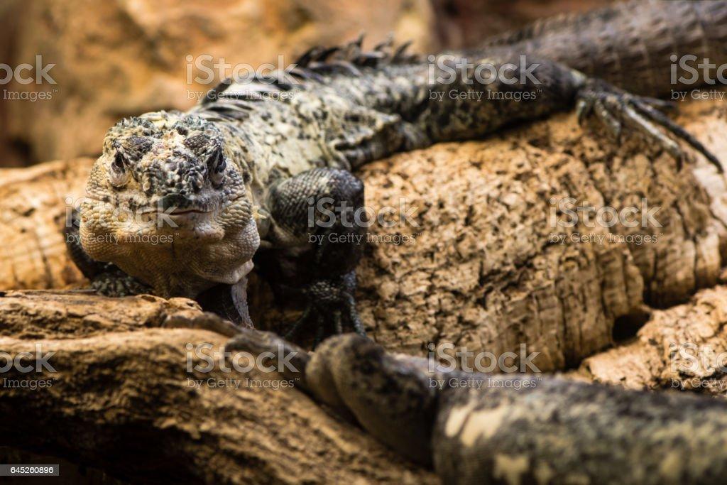 Utila spiny-tailed iguana (Ctenosaura bakeri) male stock photo