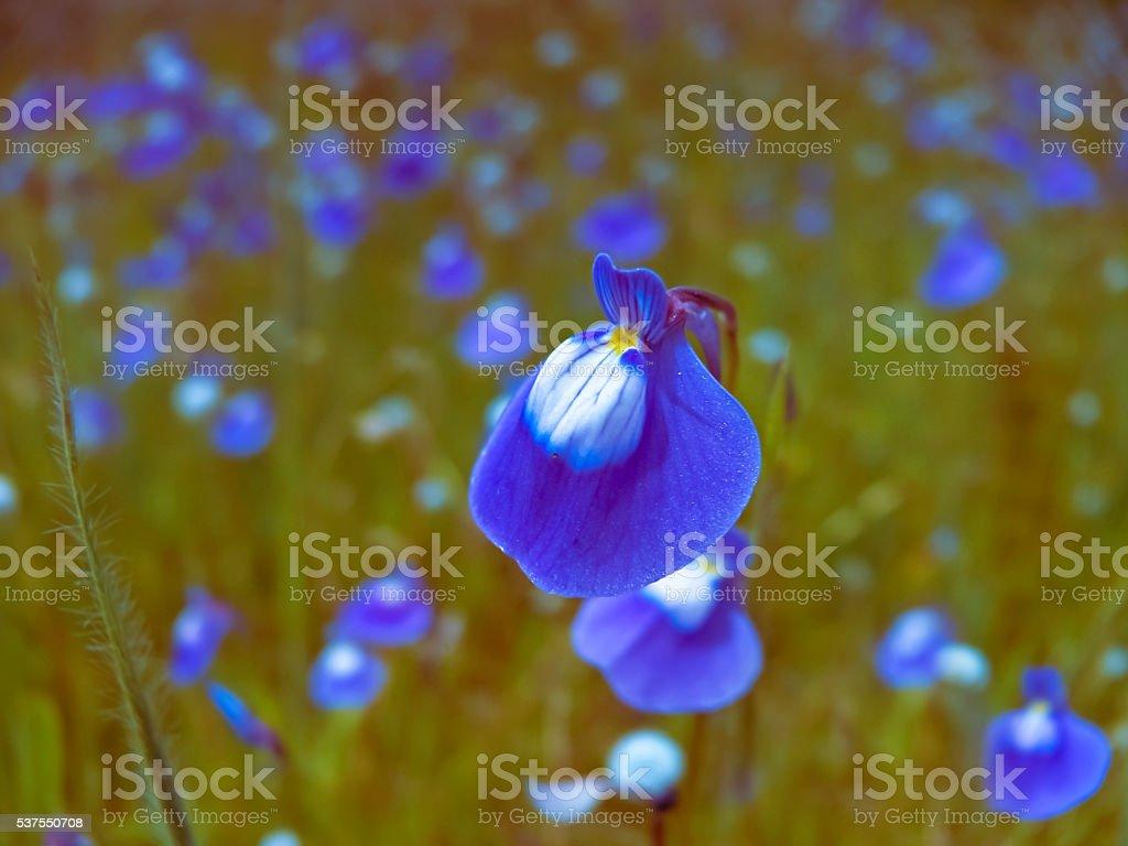 Utricularia reticulata stock photo
