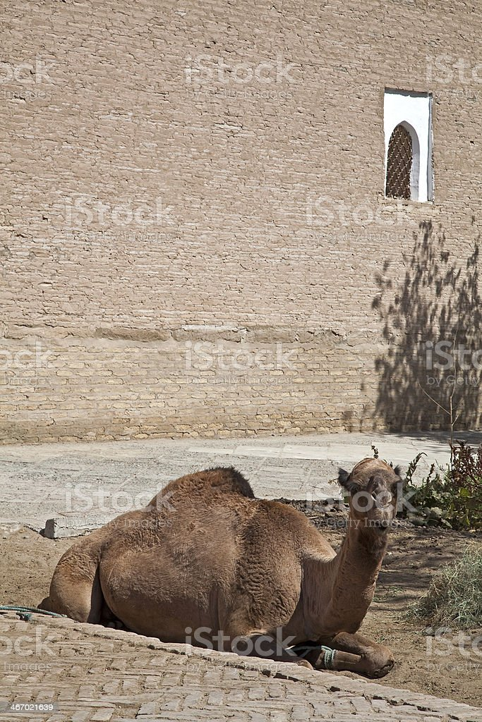 Uzbekistan, the camel royalty-free stock photo