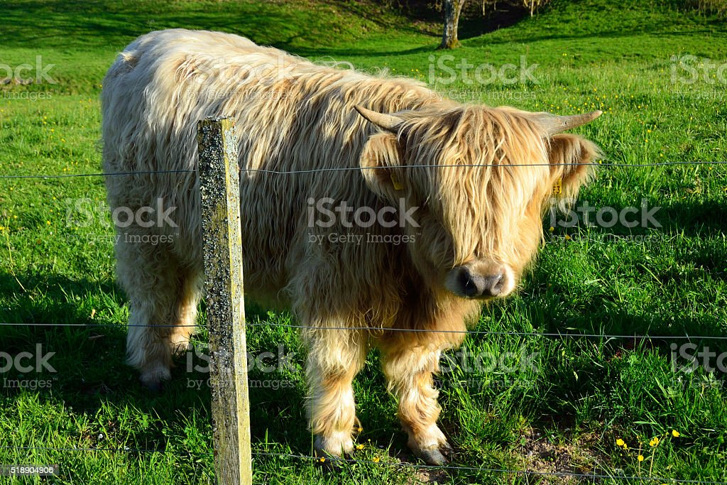 Vaca de pelo largo cerca de Baden-Baden, Selva Negra stock photo