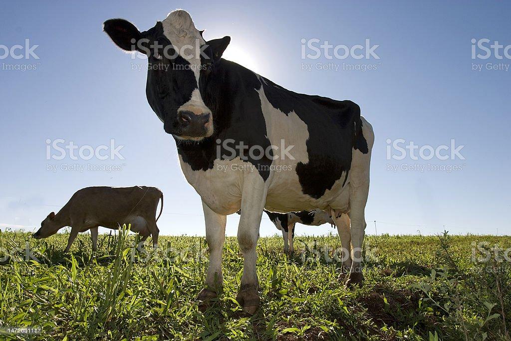 Vaca holandes royalty-free stock photo