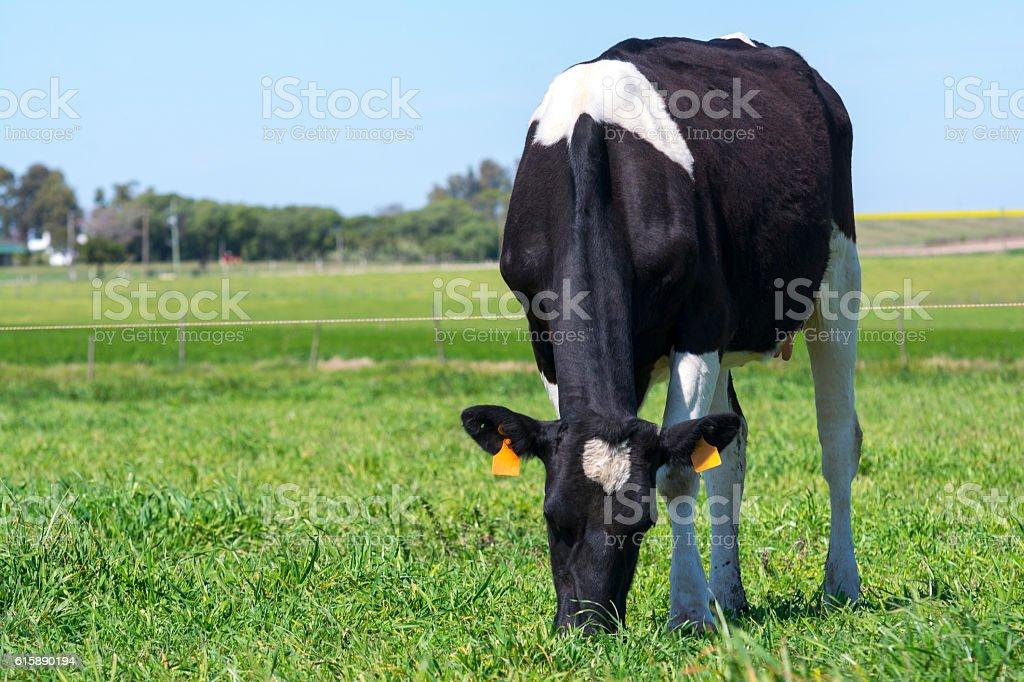 Vaca lechera stock photo