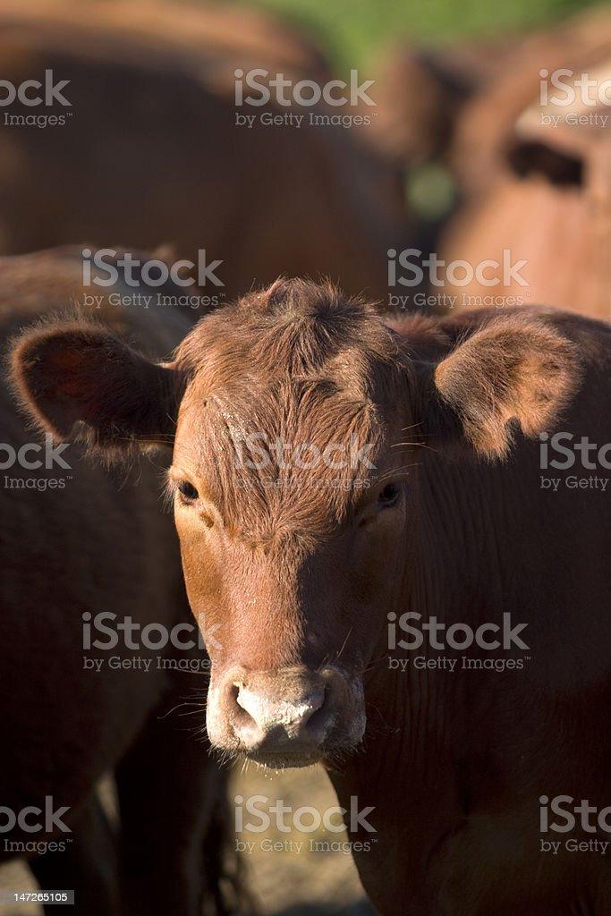 Vaca stock photo
