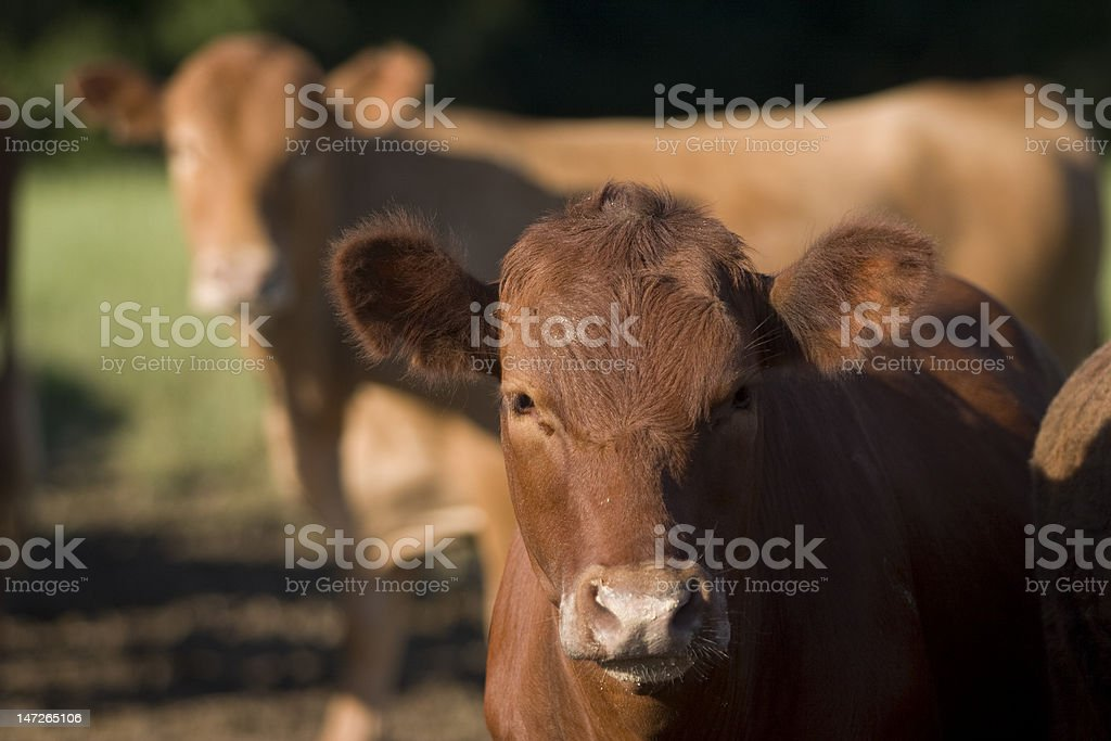 Vacas stock photo