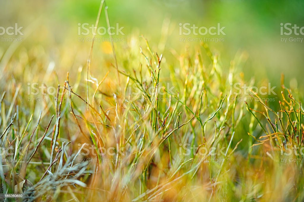 Vaccinium myrtillus royalty-free stock photo
